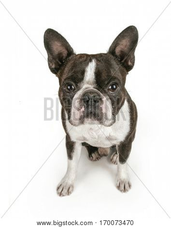 cute boston terrier puppy isolated on a white background studio shot