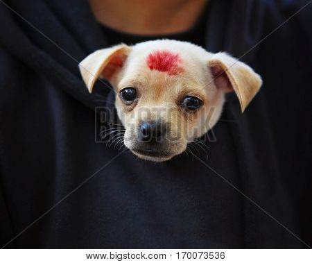 a cute chihuahua in a jacket with a red lips kiss mark at a local park on a sunny day in the summer