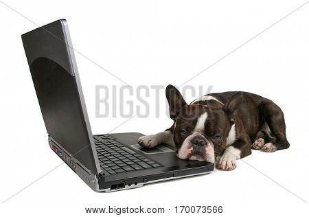 a boston terrier in front of a laptop isolated on a white background studio shot