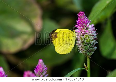 Common Grass Yellow Butterfly (pieridae)