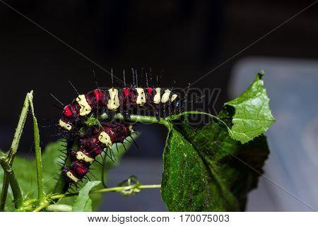 Cethosia Cyane's Caterpillar, Butterfly Worm