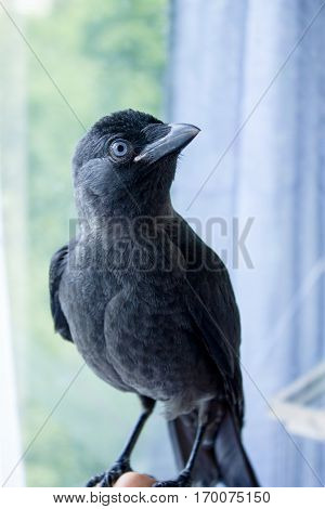 Handmade Bird Jackdaw, Not Afraid Of People
