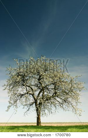Single Apple Tree