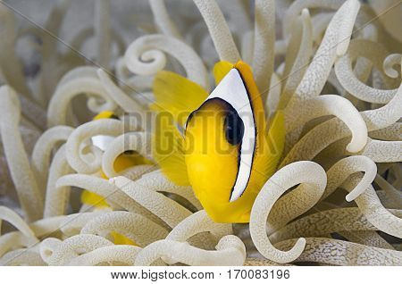Juvenile anemonefish over leather anemone with copy space for your text.