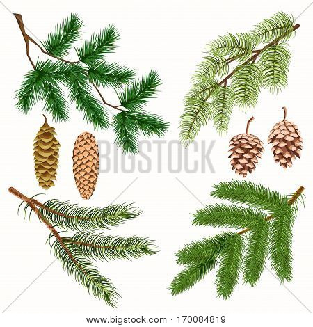 Coniferous tree branches with strobiles vector poster on white. Isolated four branches of evergreen woods with many greenish needles and four long and short pinecones collection in flat design.