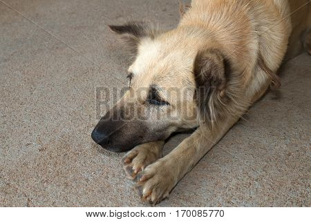 Lonely Dog Lay Down and Waiting For Owner