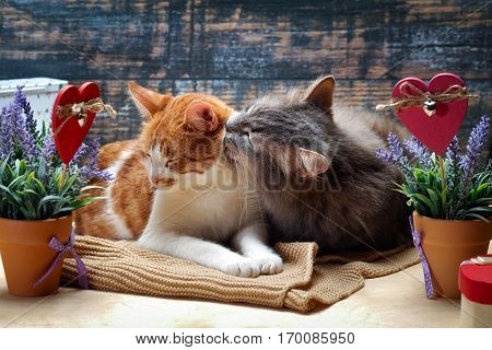 Cat among the flowers and hearts. The cat affectionately licks the cat
