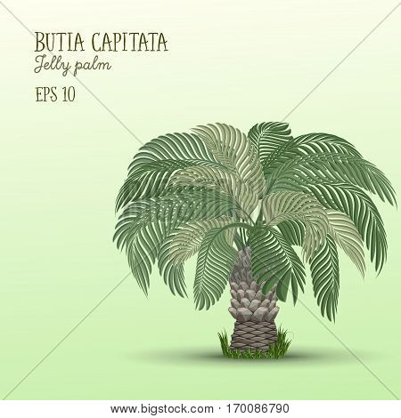 Date palm tree Butia capitata or Jelly palm on light green background. Vector illustration