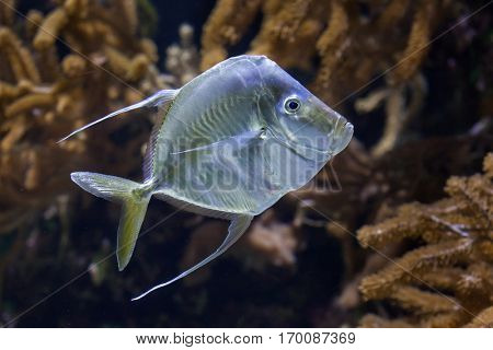 Lookdown (Selene vomer). Marine fish.