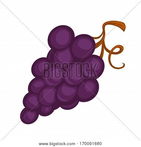 Purple grape bunch isolated on white. Grapes can be eaten fresh as table grapes or used for making wine, tasty jam, delicious juice, grape seed extract, dry raisins, vinegar and oil. Realistic vector