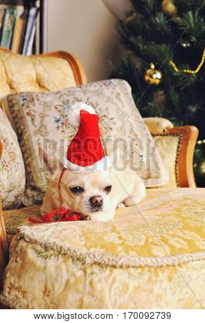 Chihuahua dog take a rest on vintage armchair with cushions, christmas decoration, Santa hat