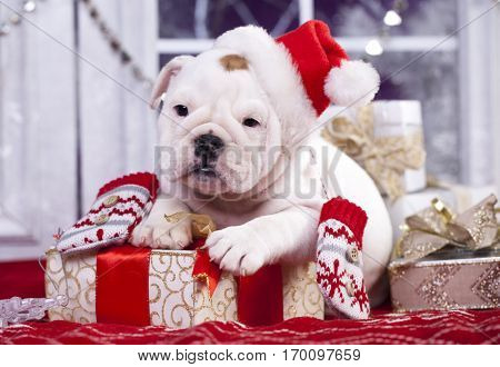 english bulldog puppy in santa claus hat
