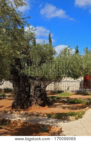 Ancient Jerusalem. Small garden of Gethsemane at the foot of the Mount of Olives. Location prayer of Jesus on the night of his arrest