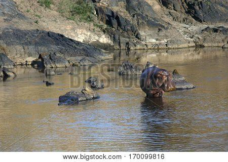 landscape with hippo posing standing in Masai Mara river Kenya