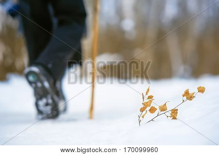 Branch with yellow leaves in the snow. A man with a cane walking through the forest.