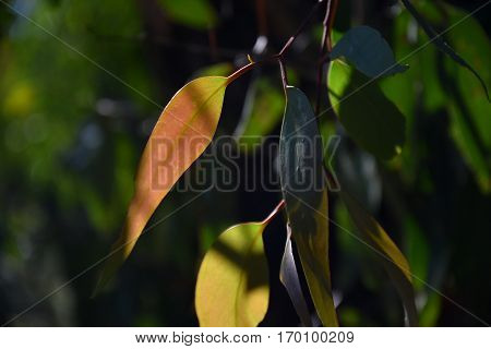 Yellow green leaves against the backlight. Yellowing leaves on the branches of a tree.