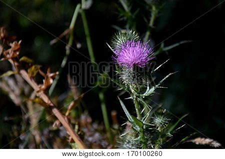 Pink milk thistle flower in bloom. Field with Silybum marianum (Milk Thistle) Medical plants. Carduus Nutans also known as nodding thistle or nodding plumeless thistle.
