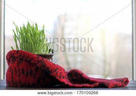 grass in a pot wrapped in a scarf against the window / small green home lawn