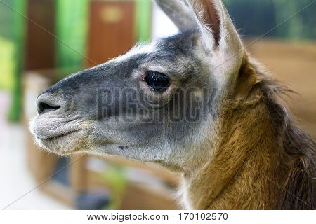 image of a beautiful head herbivore lama
