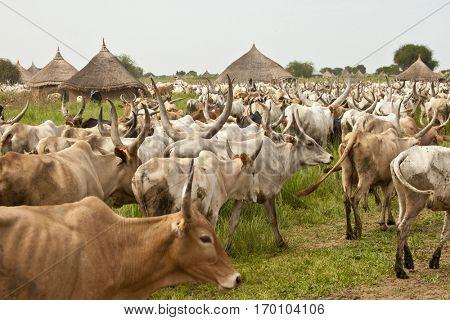 LILIIR, SOUTH SUDAN-JUNE 24, 2012: Unidentified villages herd cattle in South Sudan