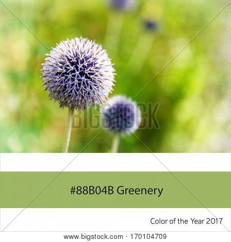 Allium flowers in sunlight, as an example of the trend colour of the year 2017, Greenery, with corresponding colour hex.