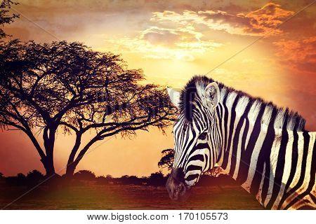 Zebra Portrait On African Sunset With Acacia Background. Africa Safari Wildlife Concept