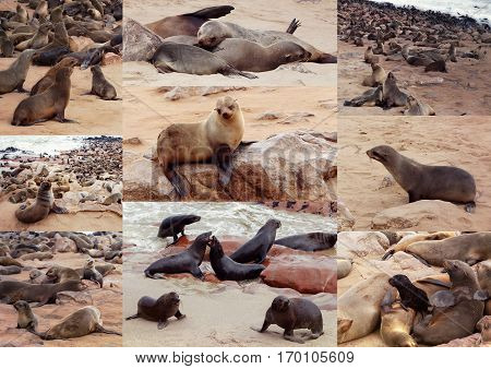 Collection Of Of Brown Fur Seal - Sea Lions Africa