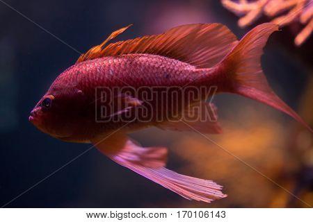 Swallowtail seaperch (Anthias anthias), also known as the red damselfish.