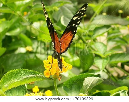Butterfly called Isabella's Longwing who gathers a flower