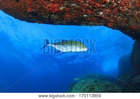 Trevally fish (or Jackfish) hunts underwater