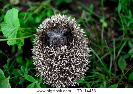 Small beautiful hedgehog lying on the grass