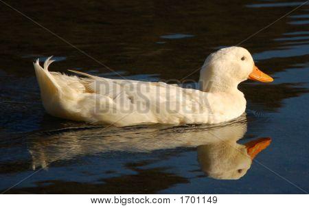 white duck swimming in Correntoso lake Patagonia poster