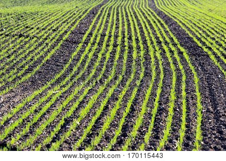 young corn plants in a rows on cultivated farmland