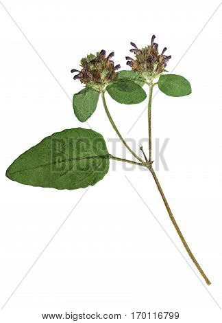 Pressed and dried flowers Prunella vulgaris on stalk isolated on white background. For use in scrapbooking floristry (oshibana) or herbarium.