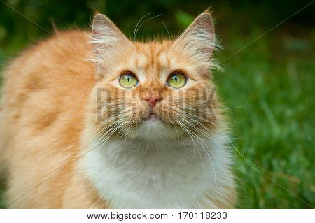 spring ginger cat with green eyes looking up