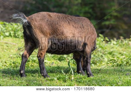 Brown goat on a meadow at pasture.