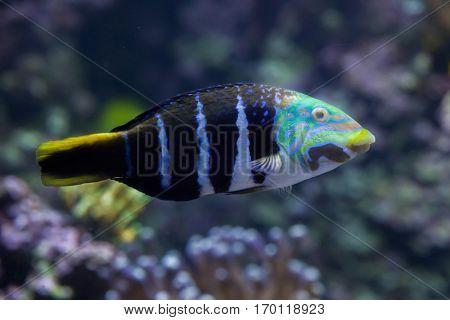 Barred thicklip wrasse (Hemigymnus fasciatus). Marine fish.