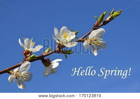 Hello Spring concept. Cherry blossom branch.Sakura on a blue sky background. Spring flowers. Spring background.