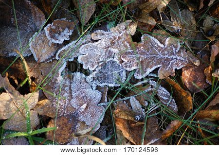 The crystal frost on the dry leaves in the forest resembles powdered sugar