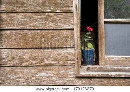 Vermilion Lychnis sieboldii flower on windowsill of wooden building