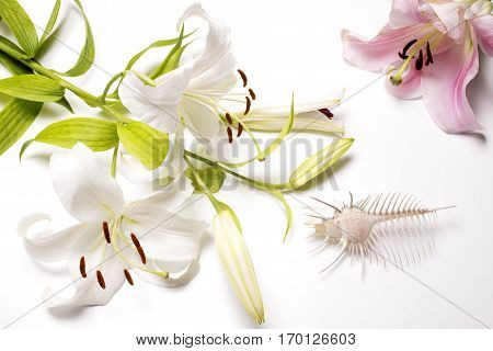 Venus comb murex and lily flowers on white table