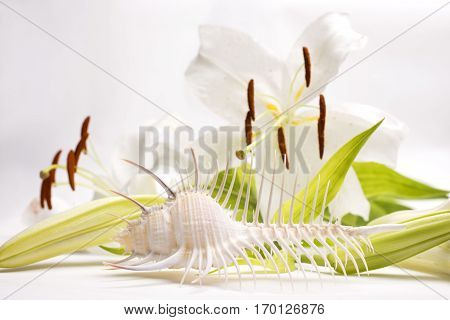Venus comb murex in front of white lily flower