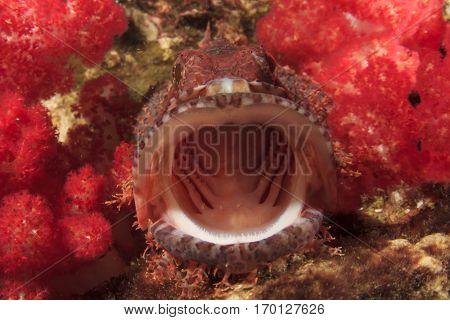 Scorpionfish fish mouth