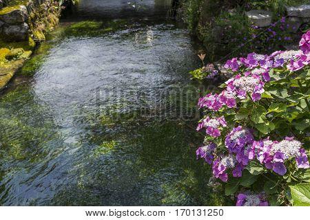 Reddish purple lacecap hydrangea flowers beside water way in Maibara