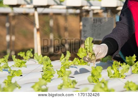 Vegetable hydroponic farm Agriculture concept. food and health concept