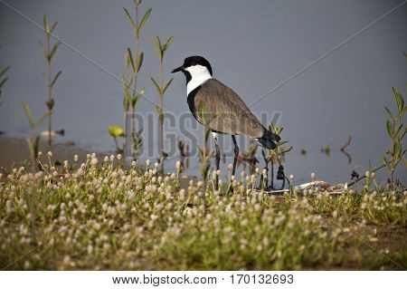 Spur-winged lapwing seaching food by a river