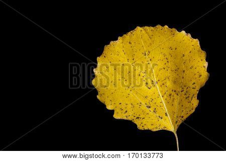 Colorful autumn, fall leaf, leaves on black background. Aspen leaf in yellow colors in closeup, macro.