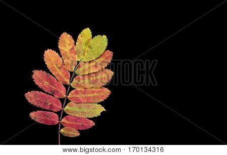 Colorful autumn, fall leaf, leaves on black background. Rowan leaf in orange and red colors in closeup, macro.