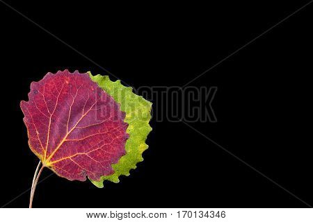 Colorful autumn, fall leaf, leaves on black background. Aspen leaf in red and green colors in closeup, macro.
