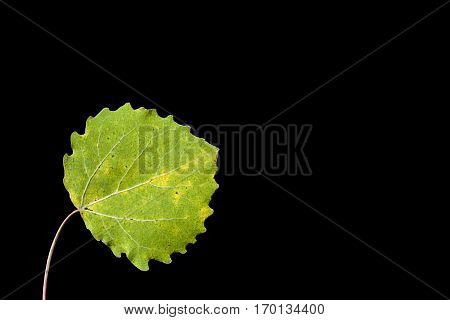 Colorful autumn, fall leaf, leaves on black background. Aspen leaf in green colors in closeup, macro.